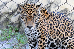 Sad Jaguar Royalty Free Stock Photography