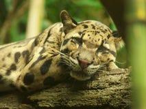 SAD jaguar Royaltyfri Bild
