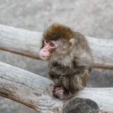 Sad Japanese macaque Royalty Free Stock Images