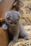 SAD kattunge Arkivbild