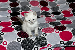 Sad kitten with blue eyes on a bed Stock Photo