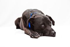 Sad Labrador. Black Labrador mix looking sad Stock Photos