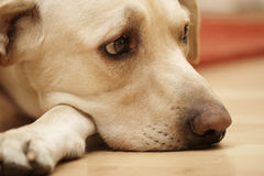 Sad labrador Stock Photography