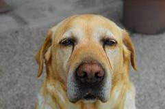 Sad labrador stock image