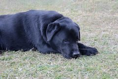 Sad labrador dog in lying in sadness mood stock images