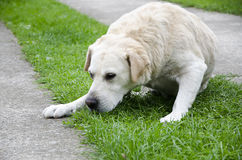 Sad Labrador. Labrador looking sad, lying on the grass waiting for his owner Royalty Free Stock Image