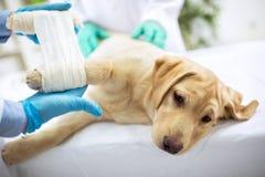 Sad labrator with broken leg stock photos