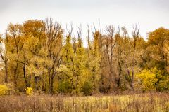 Sad landscape with yellow trees. Autumn landscape, yellow trees.Among the yellow foliage stick black trees royalty free stock photography