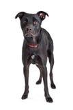 Sad Large Black Dog on White Stock Images