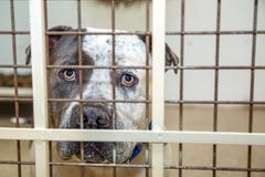 Pit Bull Dog In Kennel at Shelter. Sad large Pit Bull breed dog behind bars of a kennel at a rescue shelter royalty free stock image