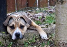 Sad light brown dog behind fence. Portrait of sad light brown dog behind fence looking outside at camera and wants to get out play with neighbors Royalty Free Stock Photo