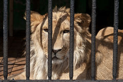 Sad lion in a cage. At the zoo illuminated by sun stock photos