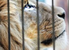 Sad lion. In cage royalty free stock photography