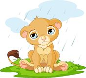 Sad Lion Cub Stock Photography