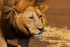 Sad Lion Head Shot. A male lion looks off into the distance sadly royalty free stock photos