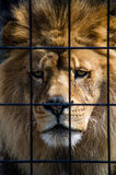 Sad lion portrait Royalty Free Stock Image