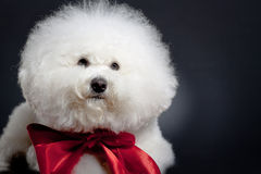 Sad little bichon frise Royalty Free Stock Image