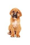 Sad little cane corso puppy looking at camera Royalty Free Stock Photos