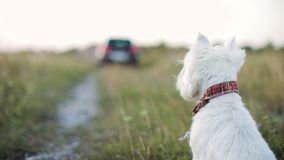 A sad little dog watches as the car leaves. The dog sits on the ground. Close-up stock video footage