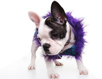 Sad little french bulldog puppy wearing furry clothes Stock Photos