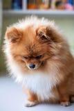 Sad little guilty Pomeranian sitting royalty free stock photography