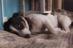 Sad little Jack Russell dog lying on a blanket Stock Image
