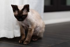 Sad little kitty. Devon Rex cat Blu Point type In the home interior. Selective focus, bokeh royalty free stock photos