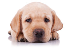 Sad little labrador retriever puppy Stock Photography