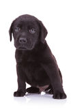 Sad little labrador retriever puppy dog Stock Photo
