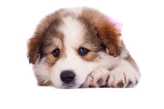 Sad little puppy Royalty Free Stock Images
