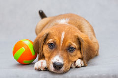Sad Little Puppy And Ball Royalty Free Stock Image