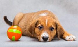 Sad Little Puppy With Ball Royalty Free Stock Images