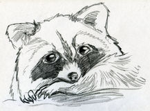 Sad little raccoon. Hand drawn pencil sketch of a little and sad raccoon cub stock illustration