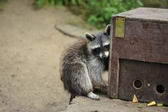Raccoon loving its food box stock photo