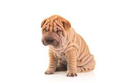 Sad little sharpei puppy royalty free stock photography