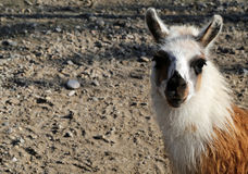 Sad Llama Royalty Free Stock Photography