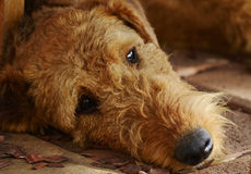 Sad lonely depressed dog. A portrait of an Airedale Terrier purebred dog who is looking extremely sad, alone, very lonely and quite depressed in fact Royalty Free Stock Photo