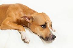 Sad lonely dog. On the isolated background Royalty Free Stock Photos