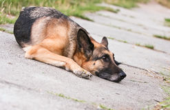 Sad lonely dog lies on asphalt plates stock image