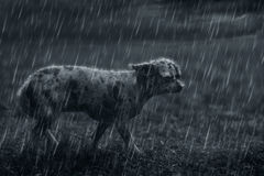 Sad lonely dog in the rain Royalty Free Stock Images