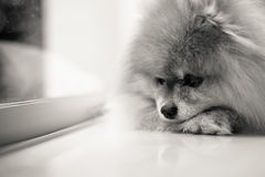 Sad and Lonely Dog Waiting for Owner, Black and White Shot Stock Photos