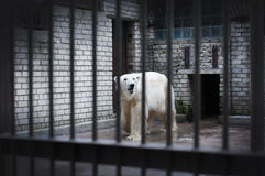 A sad and lonely polar bear hiding in a cage Royalty Free Stock Photos