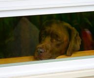 Sad lonely puppy dog looking out of window. Sad chocolate Labrador retriever puppy looking out of window waiting for master to return royalty free stock image