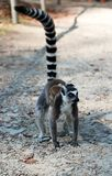 Mama Lemur with a baby on her back walks on the ground with a raised tail. Mom and baby ring tailed lemur walk.  royalty free stock images