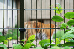 A sad and lonely tiger walking in a cage with greenery Stock Photography