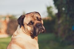 Sad look of the huge dog. Cane corso dog looking at camera. Themes loyalty, lost or desire Stock Photos