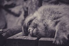 Sad Look of a Monkey during his Nap. At the Zoo royalty free stock images