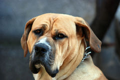 Sad look of old dog Royalty Free Stock Images