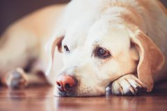 Sad look of the old dog. Sick or tired labrador retriever lying on wooden floor at home stock photo