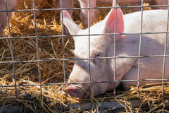 Sad look of a pig in cage laying on straw Stock Images